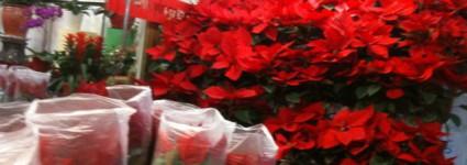 Новогодние китайские растения