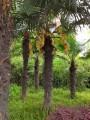 Вот так цветут пальмы