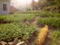 Опа! так это ж картошка растет и без жуков колорадских