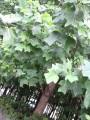 Непривычные листья на деревьях