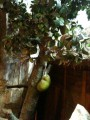 вот так растет фрукт дуриан